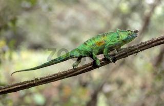 Panther-Chamäleon (Calumma parsonii), Männchen, Andasibe Nationalpark, Madagaskar
