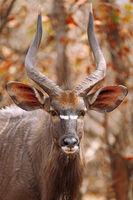 Male Nyala, south africa, wildlife