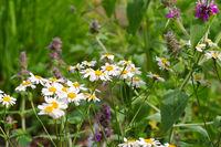 Xylanthemum tianschanicum - Xylanthemum tianschanicum a white wildflower