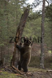 Bäumchen schütt'le dich... Europäischer Braunbär *Ursus arctos*