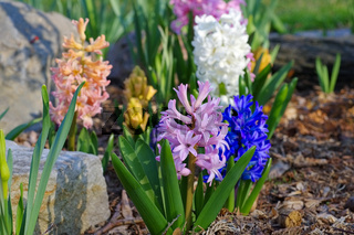 Hyazinthe - hyacinth flower in spring
