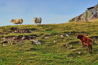 Two sheep and a cow on a grassy ridge
