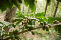 THAILAND CHIANG RAI DOI TUNG COFFEE PLANTATION