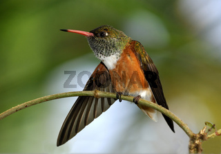 Kolibri spreizt seinen Flügel
