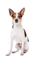 boerenfox dog