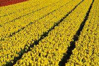 Field of yellow tulips of the species Yellow Purissima, Bollenstreek, Noordwijkerhout, Netherlands