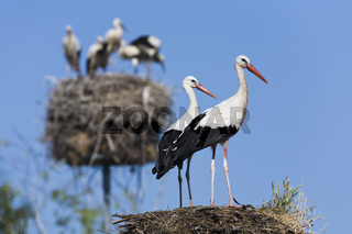 Weissstorch, (Ciconia ciconia), white stork