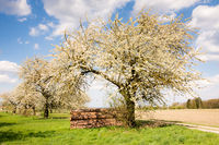 Meadow with flowering fruit trees