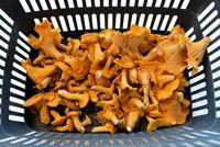 ein Korb voll Pilze frische Pfifferlinge