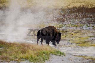 Amerikanischer Bison Büffel im Yellowstone National Park