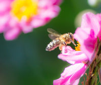 Bee flying to a pink anemone flower