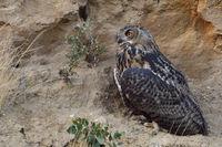 when the day ends... Eurasian Eagle Owl *Bubo bubo*