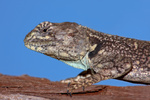 Tree agama