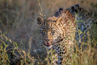 Young Leopard walking towards the camera.
