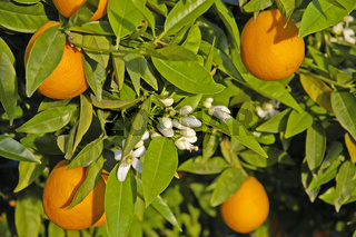 Oranges and blossoms on the tree