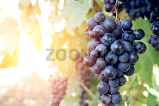 Sweet and tasty blue grape bunch