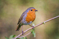 European robin in a branch in a woodland with a natural background setting.