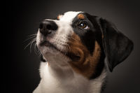 appenzeller dog on black in portrait