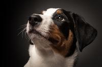 appenzeller dog on black in portrait