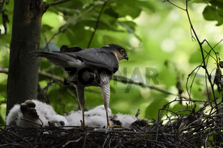 lange Ständer... Sperber *Accipiter nisus*, Männchen steht auf Nestrand, begutachtet Nachwuchs