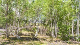 birch grove on slope of Etna volcano