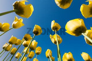 Yellow tulips seen from below perspective