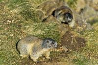 Alpine marmot (Marmota marmota),