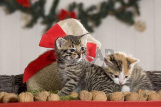 zwei Kaetzchen Weihnachten / two kitten christmas