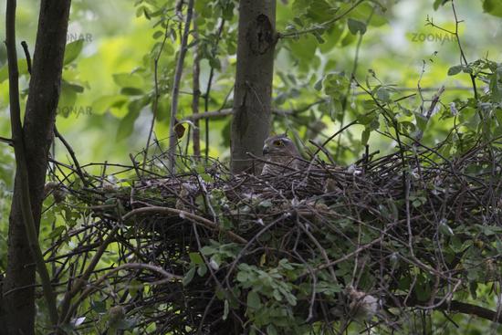 attentive... Sparrowhawk *Accipiter nisus*