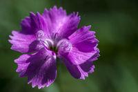 Feather carnation (Dianthus plumarius)