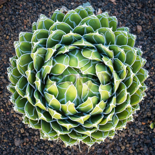 Queen Victoria Agave  - round agave plant