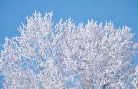 Poplar trees under hoarfrost in snow field in winter season