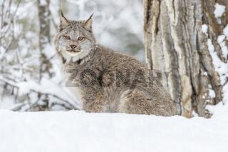 Bobcat In The Snow