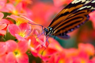 Getigerter Passionsfalter, Schmetterling