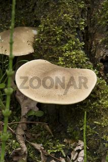 Trametes suaveolens, Anis Tramete, wächst auf bemoostem Baumstumpf von Schwarzem Maulbeerbaum, Morus nigra L