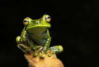 Palm Treefrog, Choco forest, Ecuador