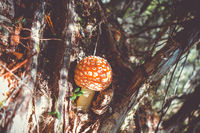 Amanita muscaria. fly agaric toadstool