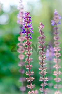 blue salvia,salvia flower in the garden