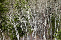 Bare white aspen trees in the springtime