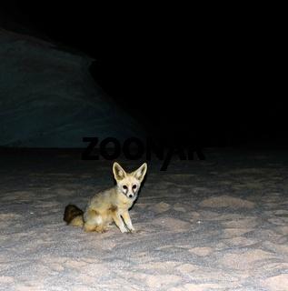 Night portrait of fennec fox in White desert, Farafra, Egypt