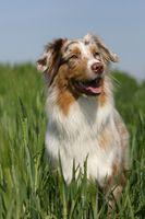 smiling Australian shepherd puppy