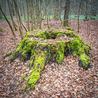im Wald - Wurzelstock einer alten Eiche