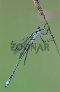 Gemeine Binsenjungfer ist ein Bewohner stehender Gewaesser  -  (Foto Maennchen) / Lestes sponsa
