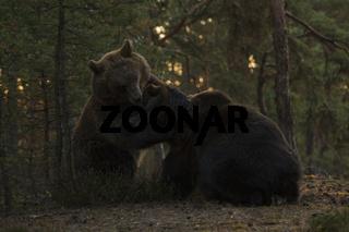 im Schwitzkasten... Europäische Braunbären *Ursus arctos* in spielerischer Auseinandersetzung
