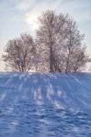 Birch trees under hoarfrost in snow field in winter season