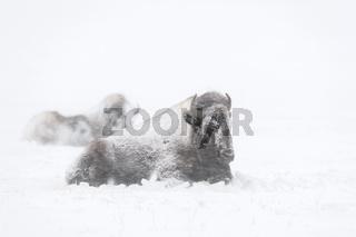 ruhend im Schneesturm... Amerikanischer Bison *Bison bison*