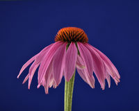 Purpur Sonnenhut auf blau - Purple coneflower on blue background