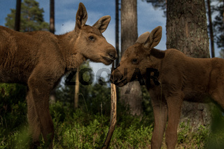 European elk Alces alces two twin calves in bilberry bushes in the forest