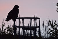 silhouetted against pink coloured evening sky... Eurasian Eagle Owl *Bubo bubo*