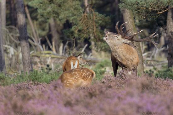 Red Deer (Cervus elaphus) Hoge Veluwe National Park, Netherlands, Europe